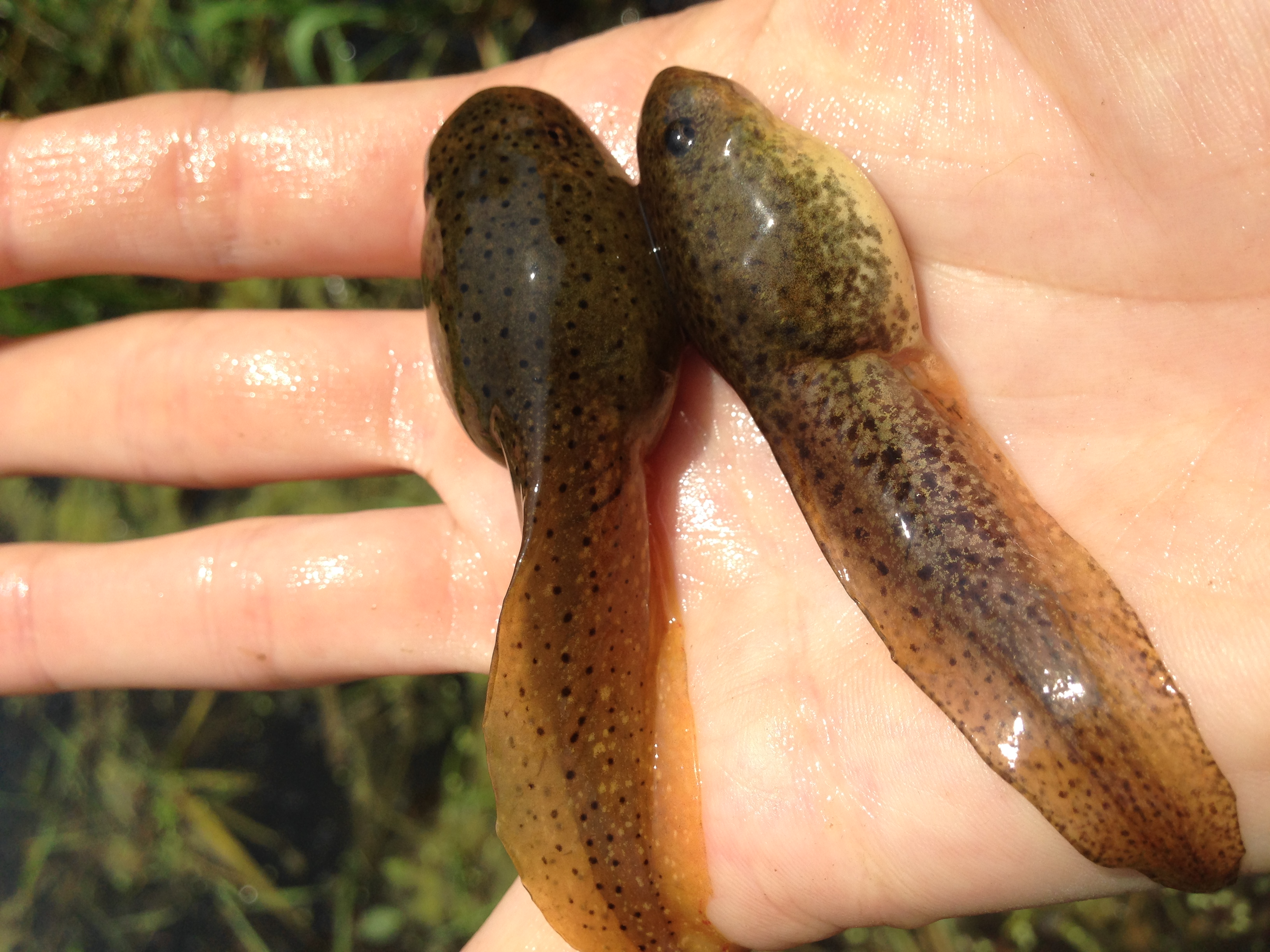 Green Frog and Bullfrog Tadpoles